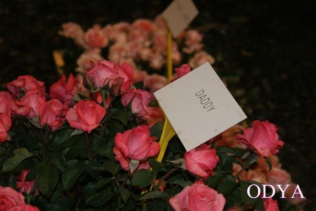 Les Journées de la rose (49 Doué la Fontaine) Dsc09211