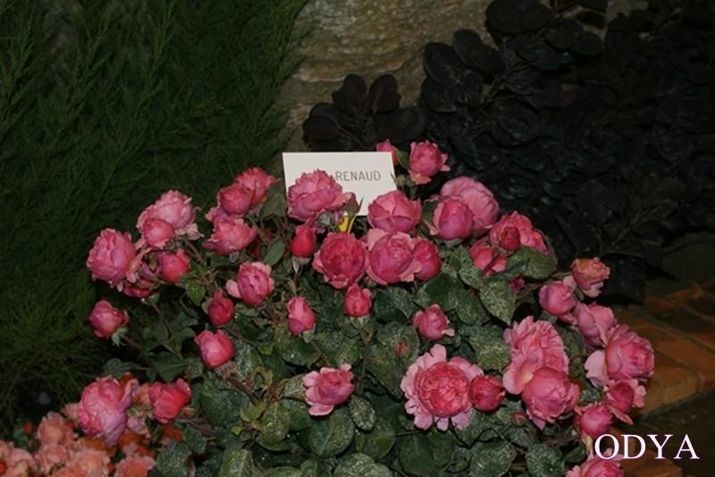 Les Journées de la rose (49 Doué la Fontaine) Dsc09215