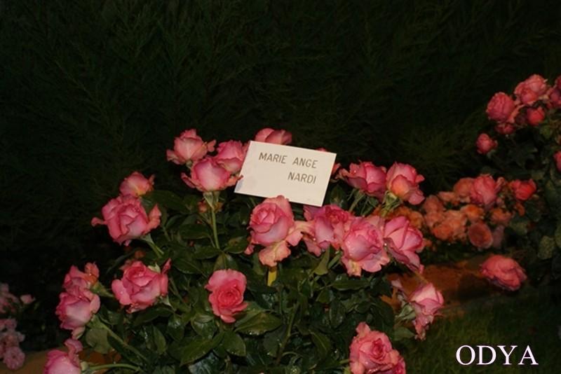 Les Journées de la rose (49 Doué la Fontaine) Dsc09216
