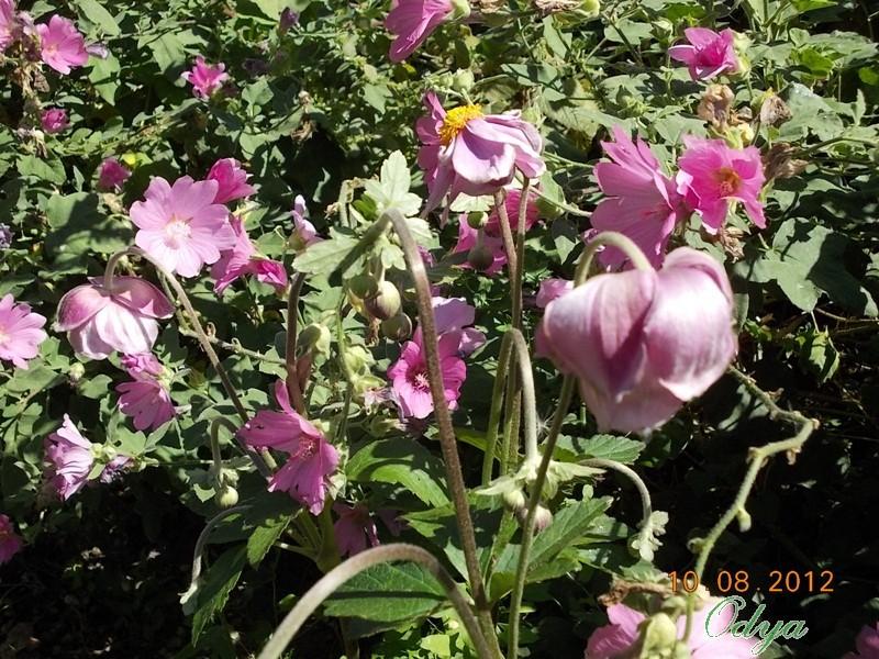 anemones du japon  - Page 2 Dscn0313