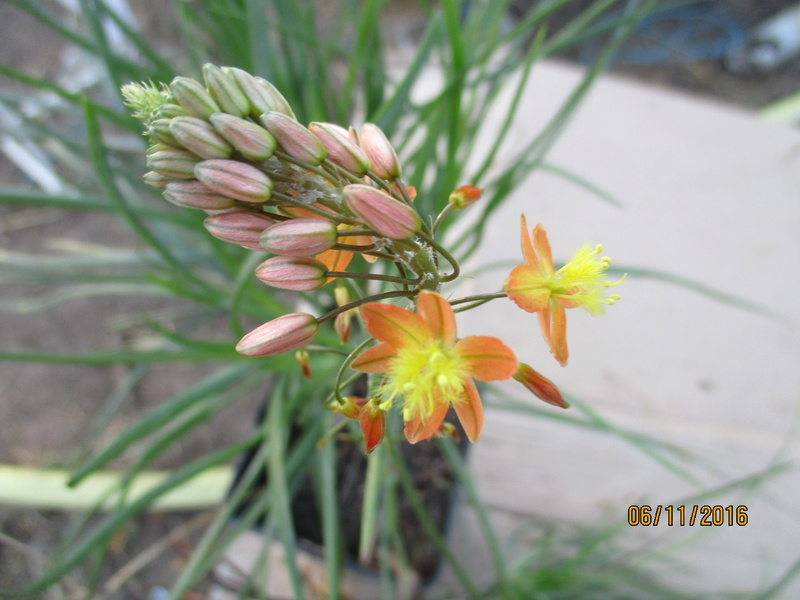 Bulbine frutescens  Img_2610