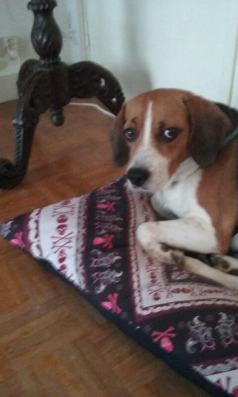Nouvelles de FILOU le beagle- adopté en juillet 2016. - Page 2 Dyc_2010