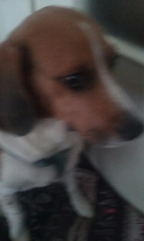 Nouvelles de FILOU le beagle- adopté en juillet 2016. - Page 2 Filou_10