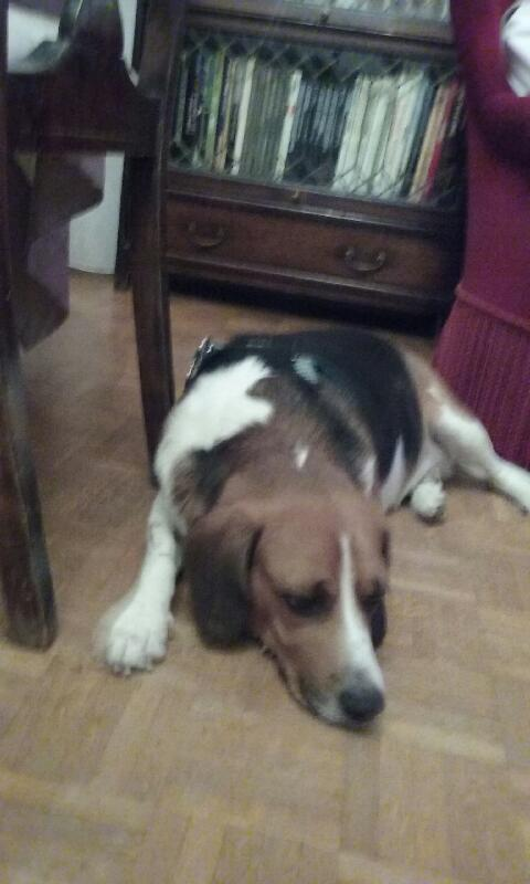 Nouvelles de FILOU le beagle- adopté en juillet 2016. Port_312