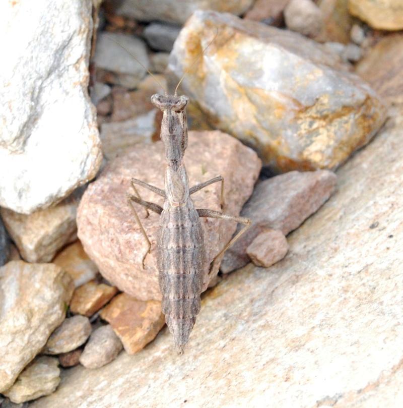 [Ameles decolor] Petite Mante . 11-02-10