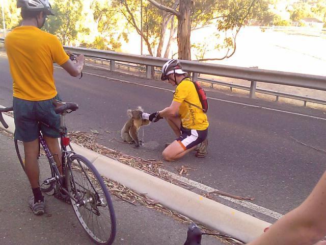Quand les Koalas ont soifs Koalas11