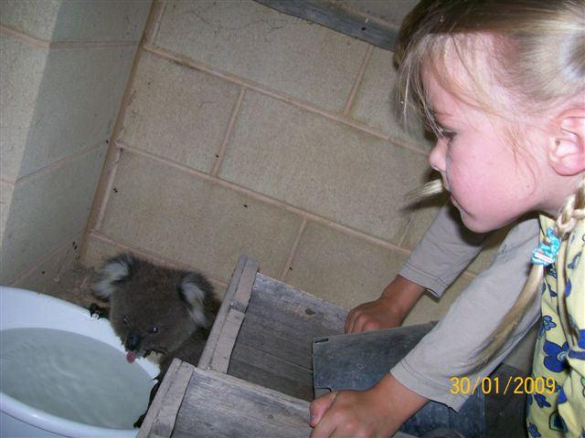 Quand les Koalas ont soifs Koalas12