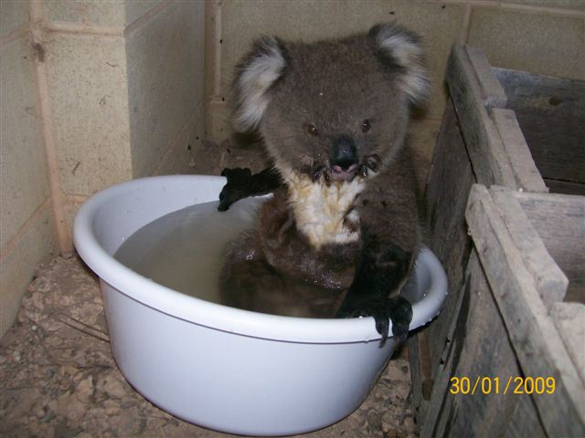 Quand les Koalas ont soifs Koalas13