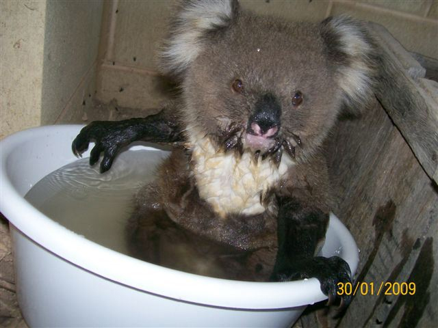 Quand les Koalas ont soifs Koalas14