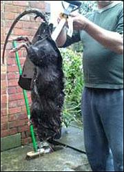 Invasion de rats géants en Angleterre Rasgaa10