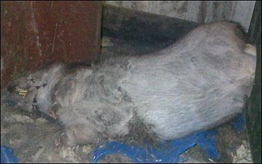 Invasion de rats géants en Angleterre Rasgaa11
