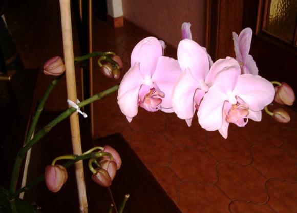 Phalaenopsis 22_07_10