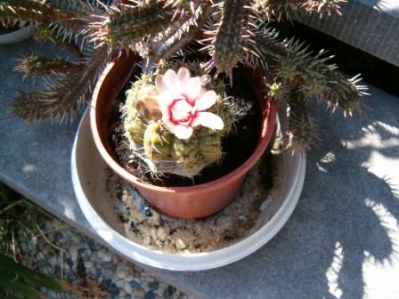 Mes cactus et plantes grasses. Apiphy13