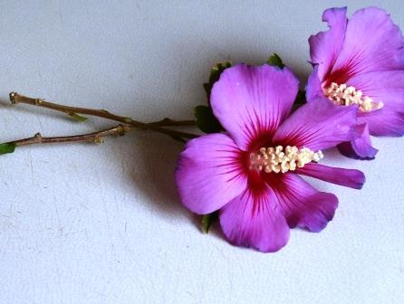 Bouturer l' Hibiscus syriacus Boutur10