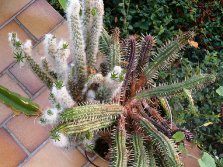 Mes cactus et plantes grasses. Cactus15