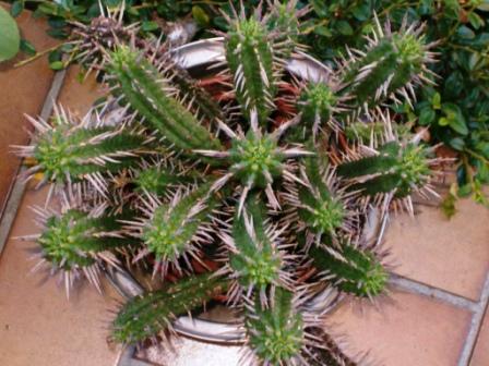 Mes cactus et plantes grasses. Cactus17