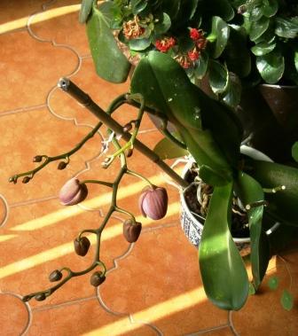 Phalaenopsis Phalaa10