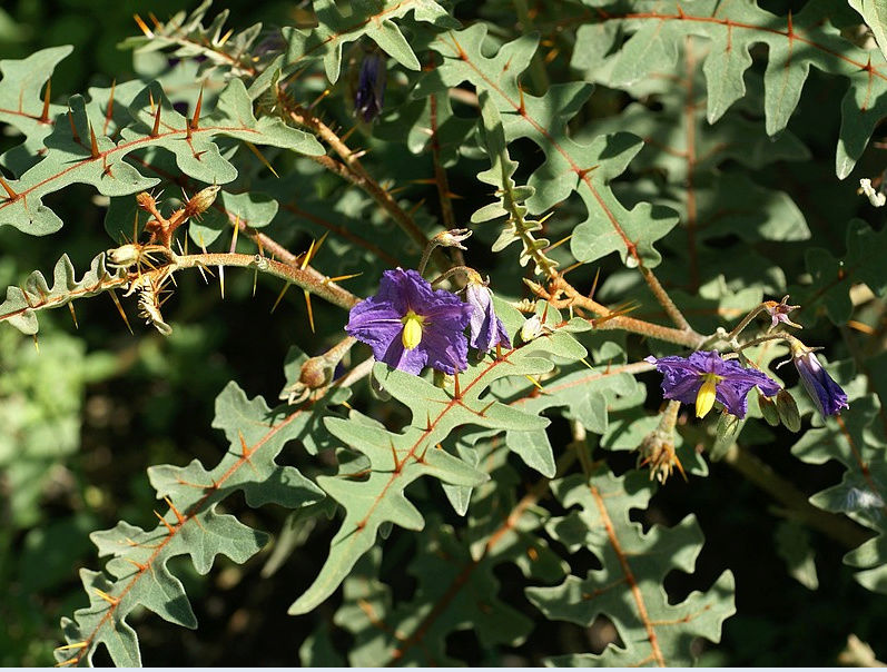 Une plante - 8 janvier - ajonc trouvée par Martine Captur29