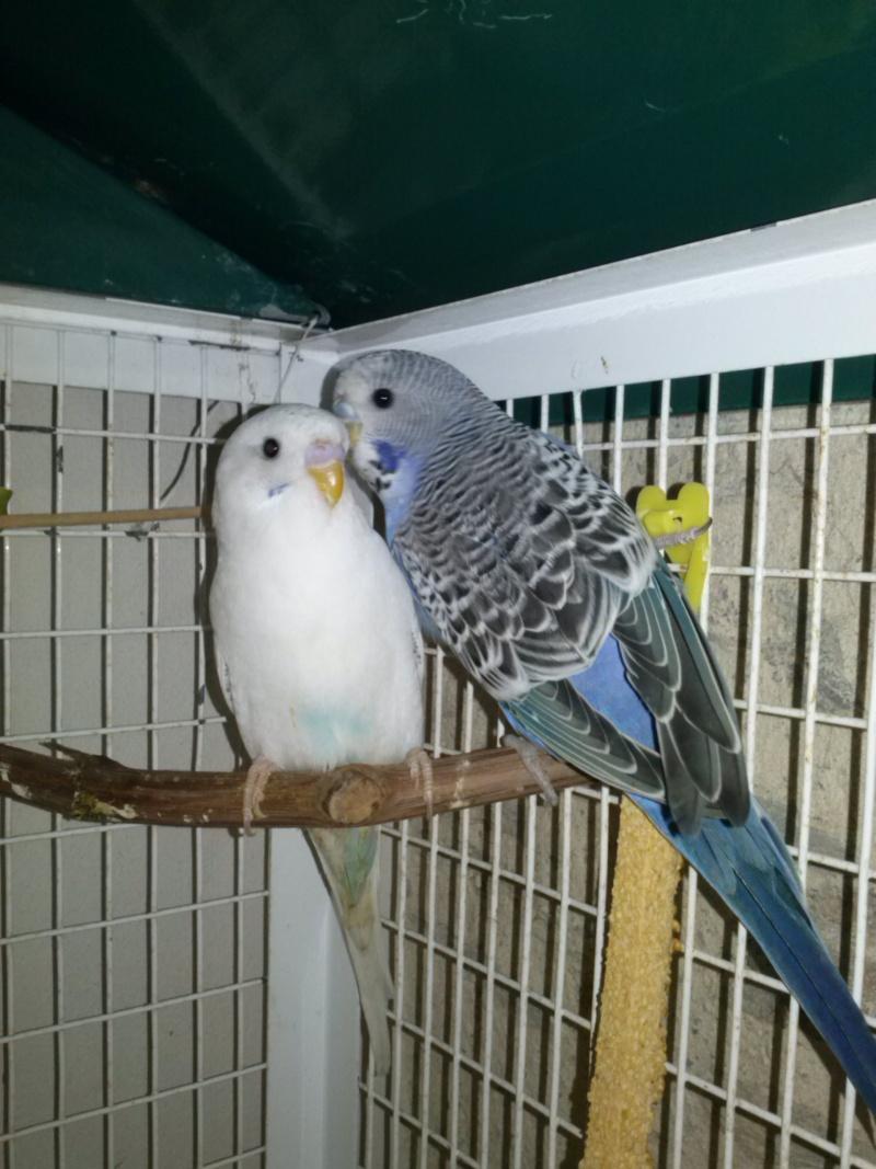Doute avec de jeunes perruches ! Cam00514