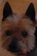 CASTOR et POLLUX (mâles Yorkshire) - toux de chenil