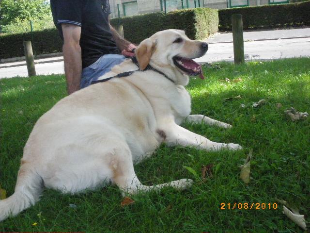 Mâle Labrador 4 ans - OBESE - refuge de Roubaix Lab10