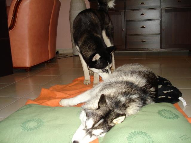 Prendre un 2e Husky, mâle ou femelle? Dsc03015