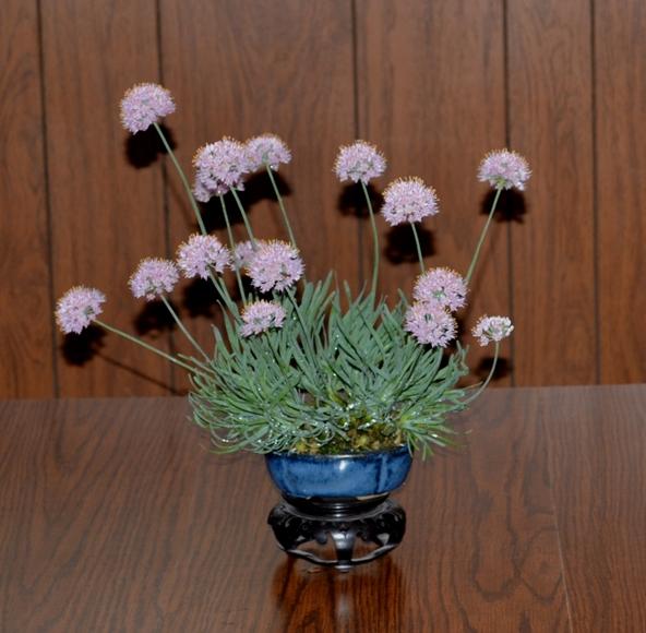 Allium senescens glaucum A_sene10