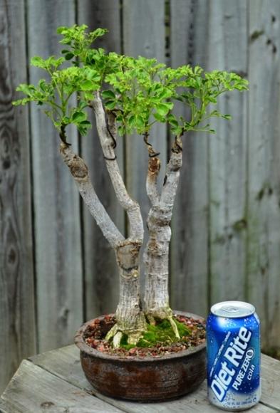 Polyscia fruticosa, Ming Aralia Polysc10