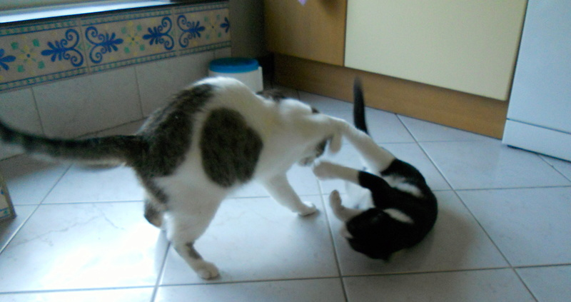 Milo tigré et blanc, adorable pot de colle à Niort Dscn5013
