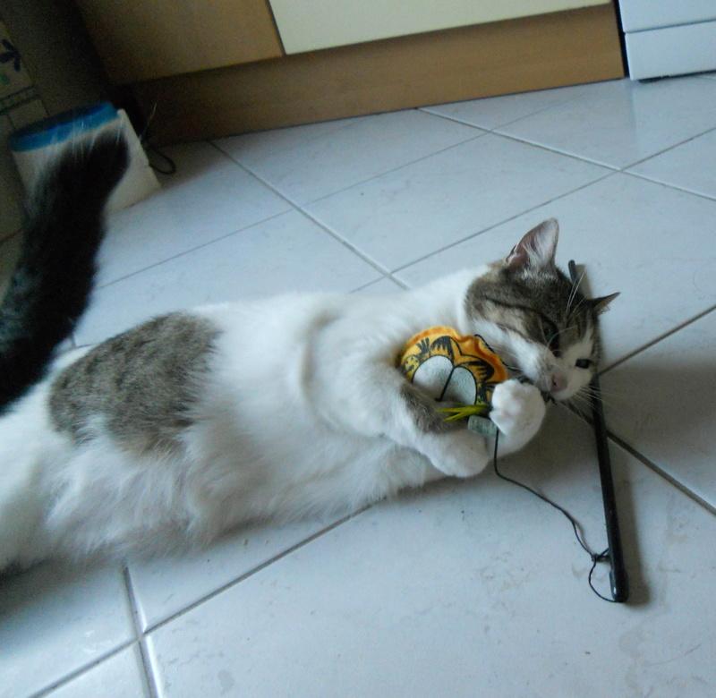 Milo tigré et blanc, adorable pot de colle à Niort Dscn5016