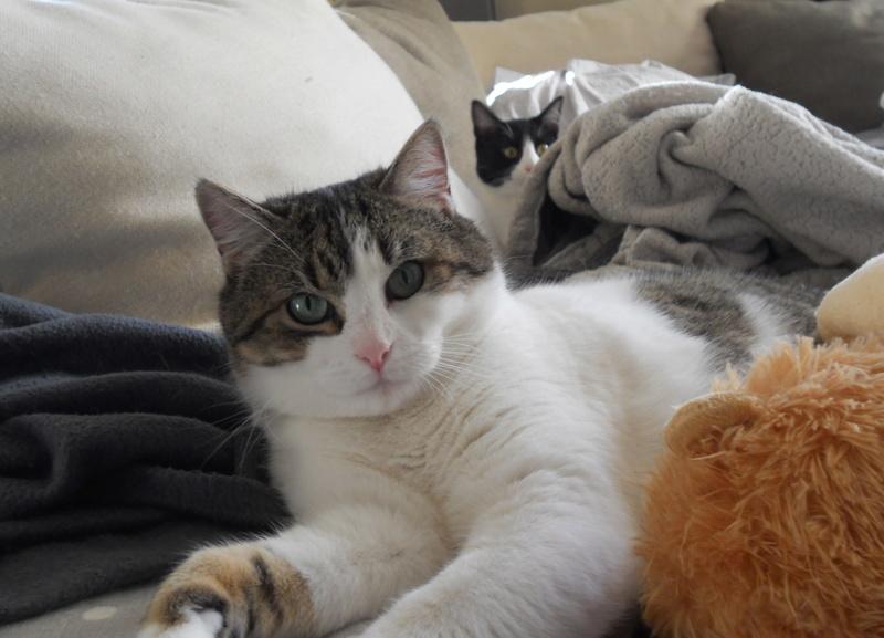 Milo tigré et blanc, adorable pot de colle à Niort Dscn5026
