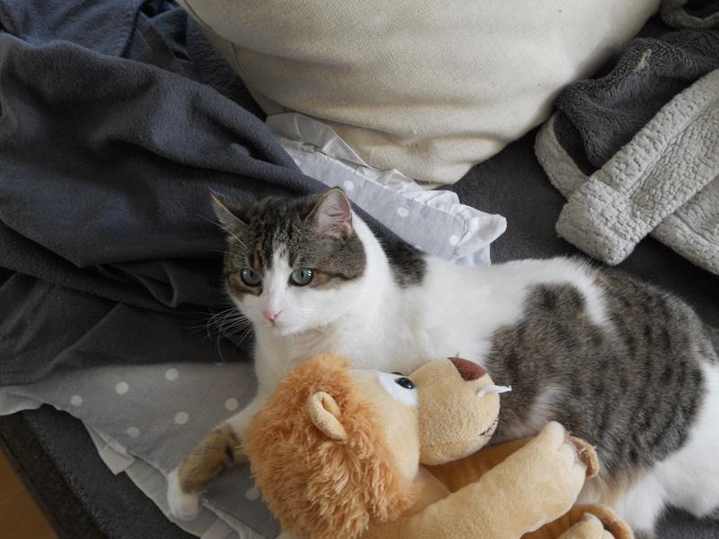 Milo tigré et blanc, adorable pot de colle à Niort Dscn5030