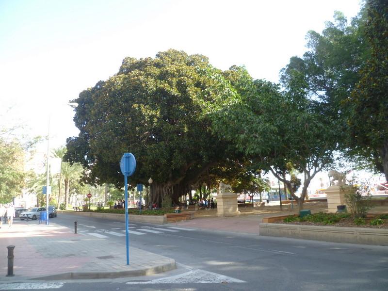 Ficus elastica - caoutchouc P1070910