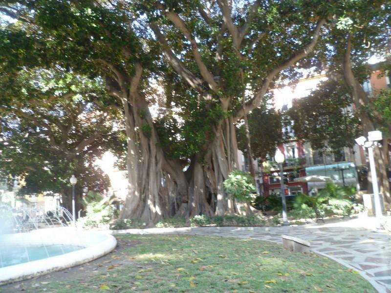 Ficus elastica - caoutchouc P1070911