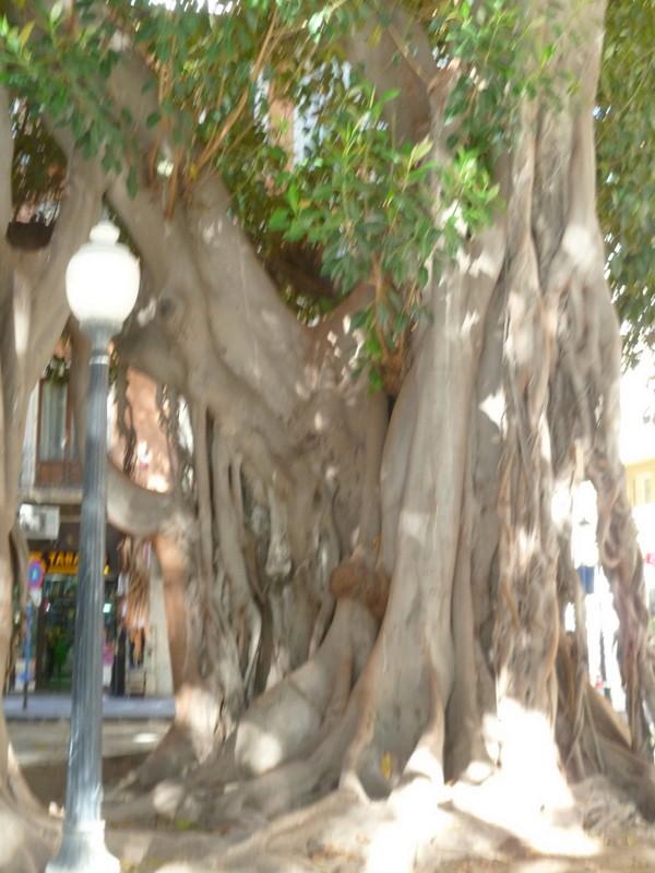 Ficus elastica - caoutchouc P1070912