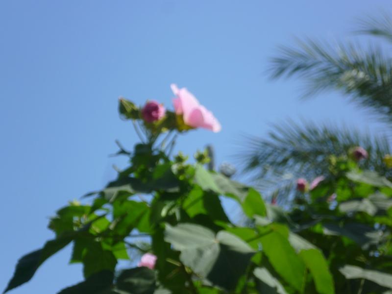 Hibiscus moscheutos - Page 4 P1070916