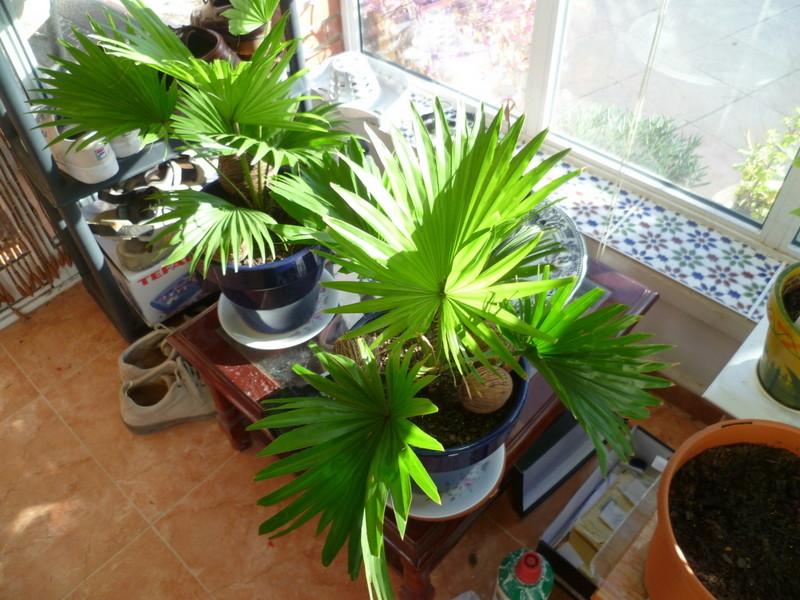 Saribus rotundifolius  (= Livistona rotundifolia) P1080015
