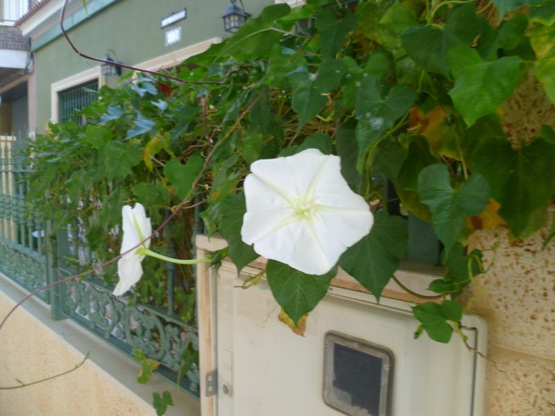 Ipomoea alba - fleur de lune P1080028