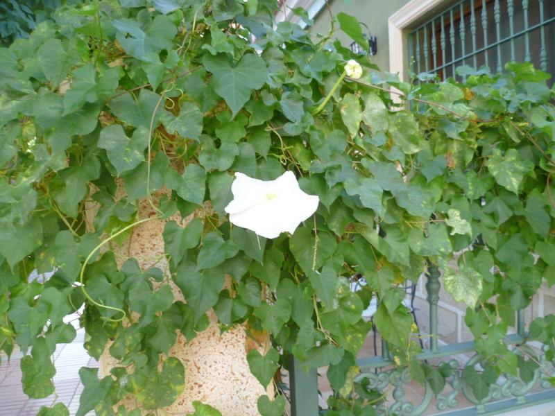 Ipomoea alba - fleur de lune P1080029