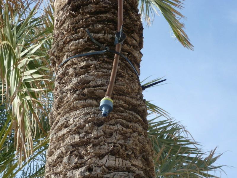 Rhynchophorus ferrugineus - charançon rouge du palmier - Page 3 P1080034