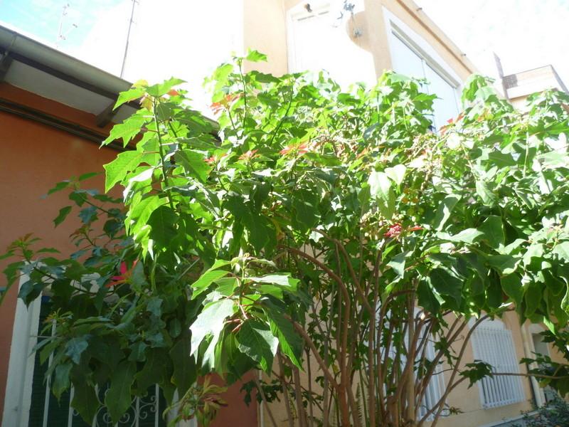 Euphorbia pulcherrima (= Poinsettia pulcherrima) - étoile de noël P1080036