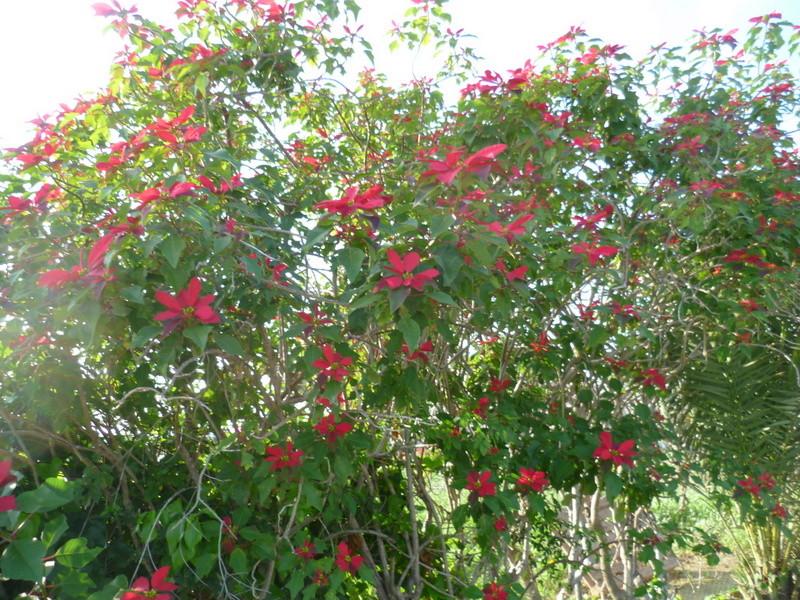 Euphorbia pulcherrima (= Poinsettia pulcherrima) - étoile de noël P1080114