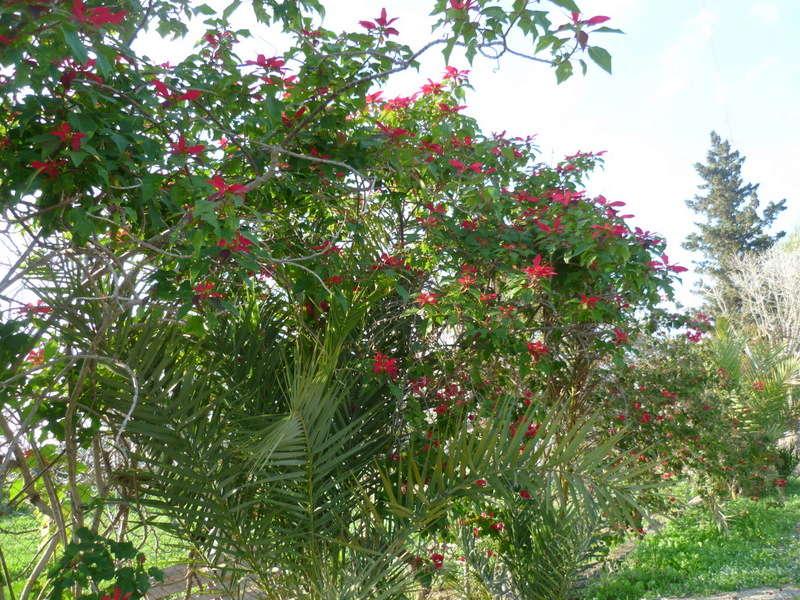 Euphorbia pulcherrima (= Poinsettia pulcherrima) - étoile de noël P1080115