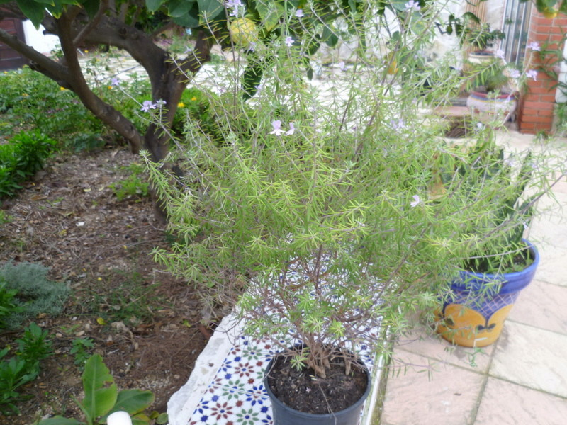 Westringia longifolia - romarin d'Australie P1080117
