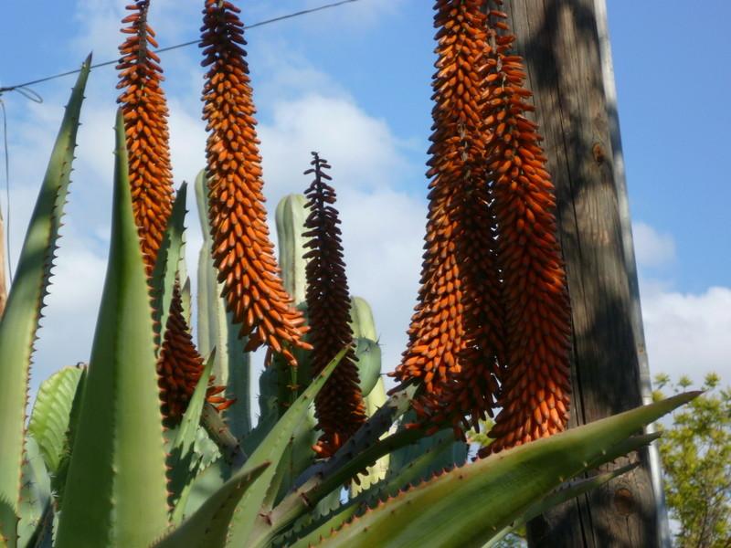 Aloe marlothii, Aloe rupestris, Aloe x principis : comparaison P1080127