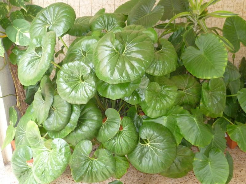 Farfugium japonicum [Identification] P1080131