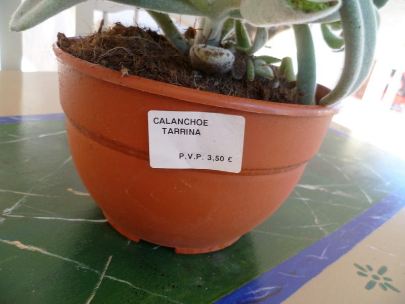 Kalanchoe tomentosa P1080222