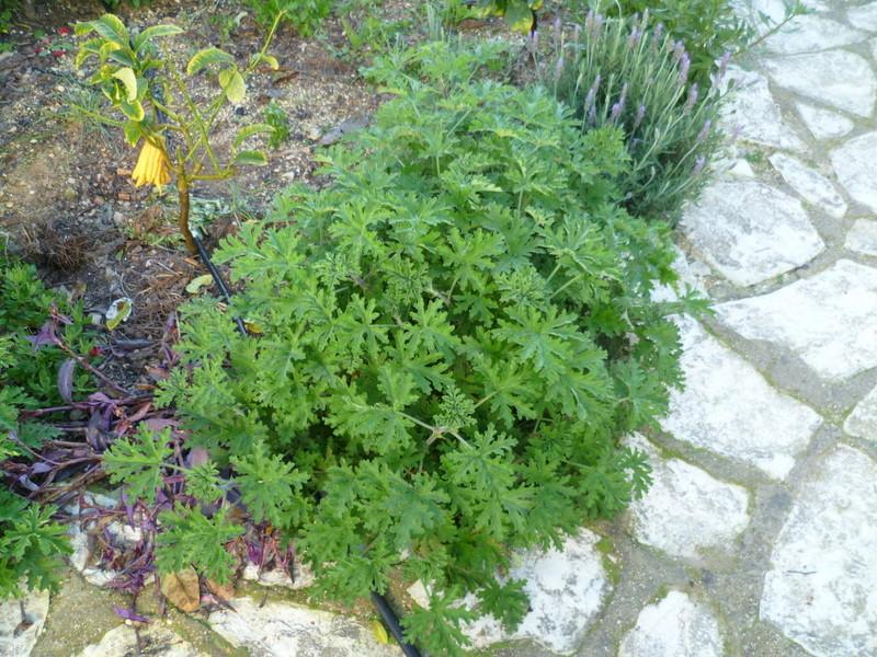 Pelargonium sp. (non crispum) P1080224