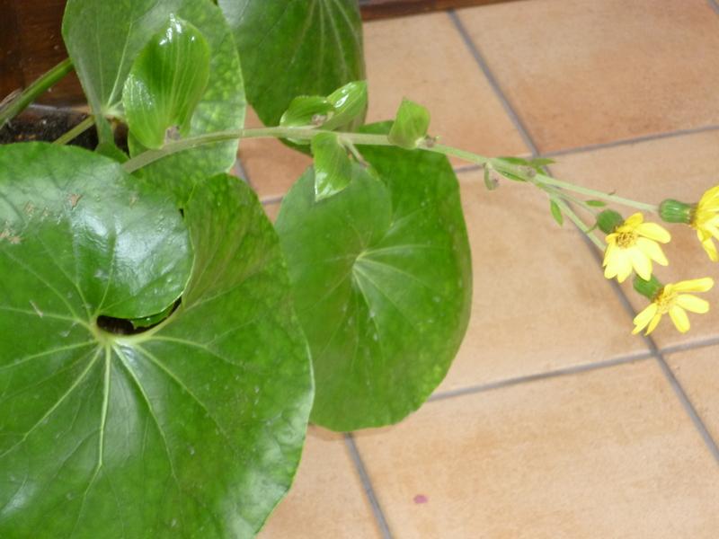 Farfugium japonicum [Identification] P1080229