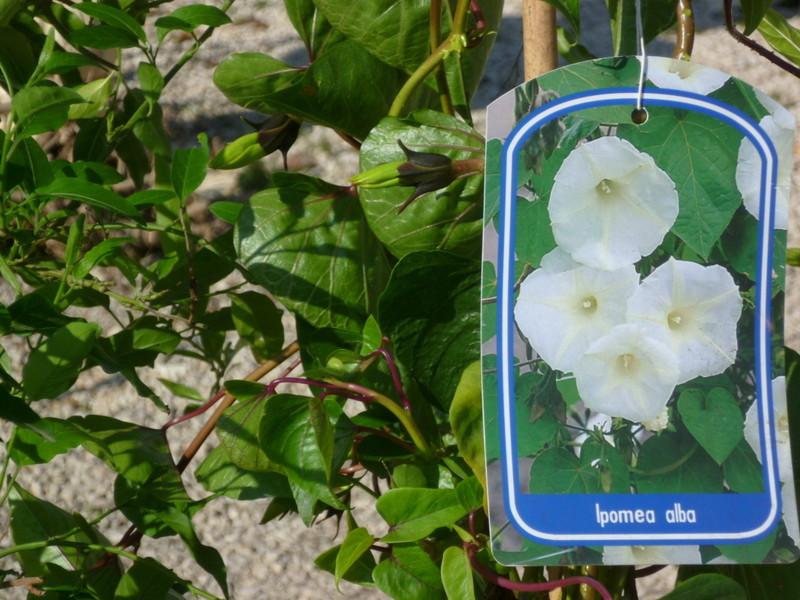 Ipomoea alba - fleur de lune - Page 2 P1080230